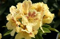 Rhododendron 'Goldsprenkel'