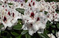 Rhododendron 'Hachmann's Picobello' ®