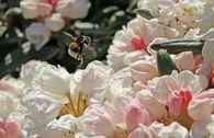 Rhododendron 'Koichiro Wada' / 'FCC'