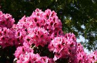 Rhododendron 'Kokardia' ®