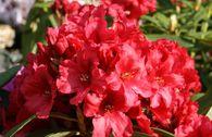Rhododendron 'Rabatz' ®