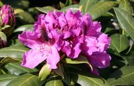Rhododendron 'Rasputin'