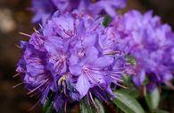 Rhododendron 'Statuette'