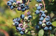 Riesen-Heidelbeere 'Bluejay'