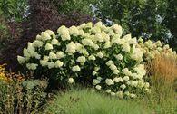 Rispenhortensie 'Grandiflora'