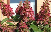 Rispenhortensie 'Wims Red' ®