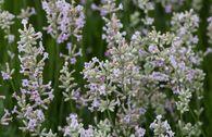 Rosablühender Lavendel 'Hidcote Pink'