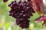 Rotblättrige Weinrebe