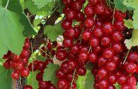 Rote Johannisbeere 'Rolan'
