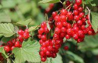 Rote Johannisbeere 'Rondom'