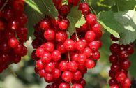 Rote Johannisbeere 'Stanza'