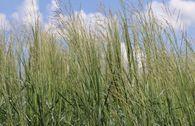 Ruten Hirse 'Prairie Sky'