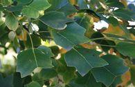 Säulen-Tulpenbaum 'Ardis'