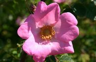 Sandrose / Carolina-Rose / Wiesenrose
