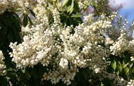 Schattenglöckchen 'White Pearl'