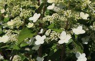 Schmetterlings-Hortensie 'Butterfly' ®
