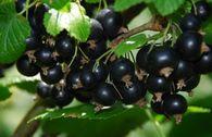 Schwarze Johannisbeere 'Titania' (S)