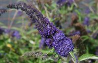 Sommerflieder / Schmetterlingsstrauch 'Adonis Blue'