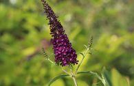 Sommerflieder / Schmetterlingsstrauch 'African Queen'