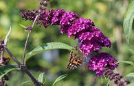 Sommerflieder / Schmetterlingsstrauch 'Cardinal'