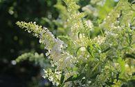 Sommerflieder / Schmetterlingsstrauch 'Dart's Ornamental White'