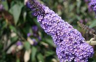 Sommerflieder / Schmetterlingsstrauch 'Ellen's Blue'