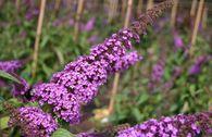 Sommerflieder / Schmetterlingsstrauch 'Ile de France'