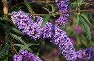 Sommerflieder / Schmetterlingsstrauch 'Nanho Blue'
