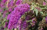 Sommerflieder / Schmetterlingsstrauch 'Nanho Purple'