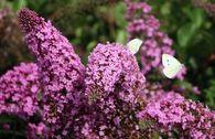 Sommerflieder / Schmetterlingsstrauch 'Pink Delight'