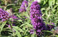 Sommerflieder / Schmetterlingsstrauch 'Purple Emperor'