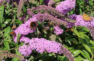 Sommerflieder / Schmetterlingsstrauch 'Purple Prince'