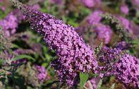 Sommerflieder / Schmetterlingsstrauch 'Reve de Papillon' ® Pink