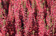 Sommerheide / Besenheide GardenGirls ® 'Athene' -S-