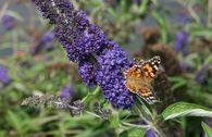 Sommertraum Schmetterlingsstrauch / Sommerflieder Blau & Rot