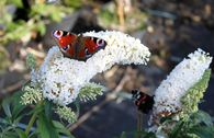 Sommertraum Schmetterlingsstrauch / Sommerflieder Weiß & Purpur