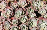Spatelblättriges Fettblatt 'Purpureum'