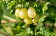 Stachelbeere 'Hinnonmäki gelb'