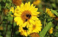Stauden-Sonnenblume 'Capenoch Star'