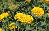 Stauden-Sonnenblume 'Loddon Gold'