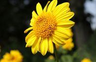 Stauden-Sonnenblume 'Meteor'