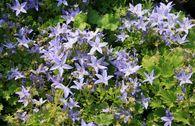 Sternpolster-Glockenblume