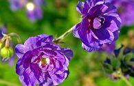 Storchschnabel 'Plenum Violaceum'