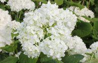 Strauch-Hortensie / Schneeball-Hortensie 'Grandiflora'