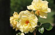 Strauchrose 'Emil Nolde' ® - Rose