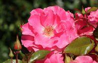 Strauchrose 'Romanze' ®