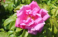 Strauchrose 'Rosa Zwerg'