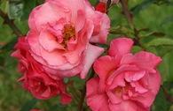 Strauchrose 'Rosenresli' ®
