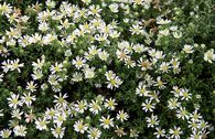 Teppich-Aster 'Snowflurry'