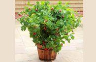 Topf-Himbeere / Zwerg-Himbeere 'Ruby Beauty' ®